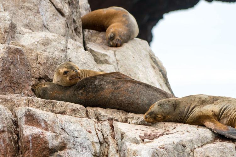 Sea lion lying on rock