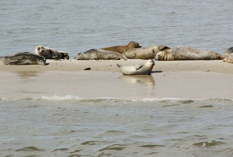 Seals Sandbank Northsea Langeoog Young Seal Water Sea Life Aquatic Mammal Sea Colony Beach Seal - Animal Group Of Animals