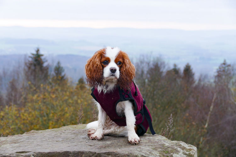 Cavalier king charles spaniel dog  in a warm winter coat on a rock in front of scenic view