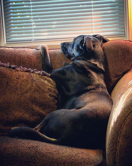 Longing Forlorn Dog Black Labrador Animal Themes Pets Pet