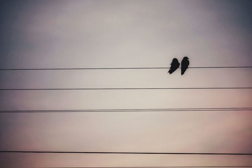 Birds Lovers on the electricity line Cable Animal Wildlife Bird Animals In The Wild Animal Themes Vertebrate Sky Power Supply Group Of Animals Nature No People Power Line  Connection Sunset Low Angle View Perching Outdoors Silhouette Electricity  Animal