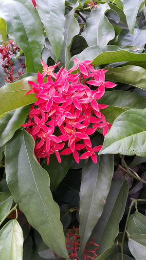 Ixora Red Ixora Red Flowers Flower Flower Photography Flowers Flowers_collection Thailand Photos Thailand Hello World Thailand_allshots Flowers,Plants & Garden Flower Collection