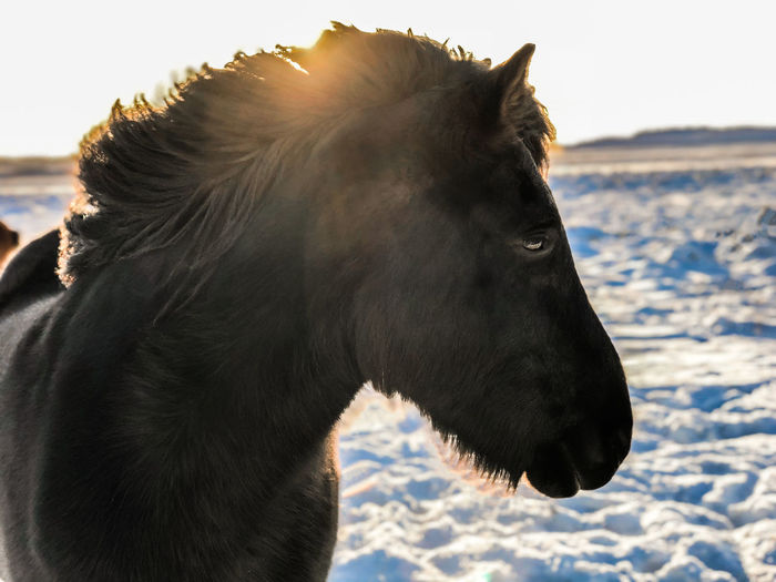 Dream Iceland Love Travel Animal Animal Head  Backpack Day Horse Iclandic Horses Land Landscape Nature Sky Snow Traveler World