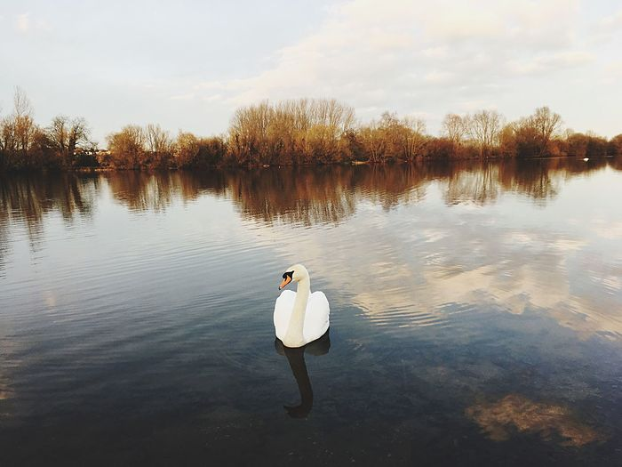 Evening swan Water Nature Lake Animals In The Wild Swan Animal Themes Reflection Beauty In Nature One Animal Animal Wildlife Outdoors Scenics Swimming Waterfront Sky Bird Tree