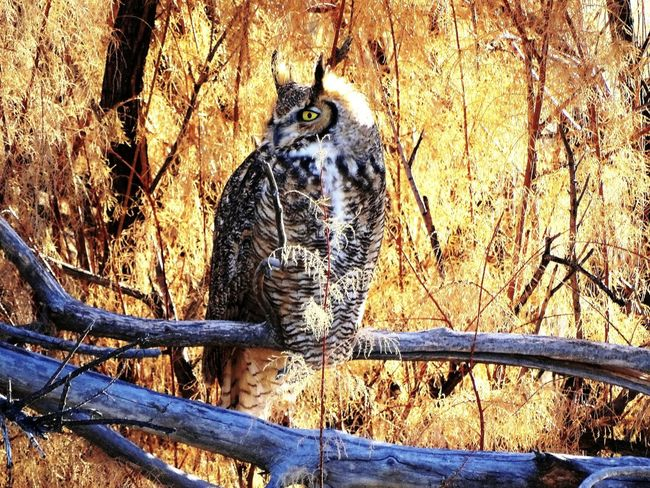 One Animal Animal Themes Animals In The Wild Outdoors Animal Wildlife Great Horned Owl Wildlife Wyoming Worland WY Nature Bird Animals In The Wild Beauty In Nature