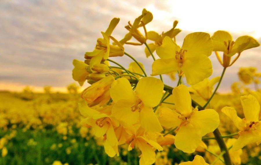 Golden field in May. Enjoying Nature Denmark Tadaa Community EyeEm