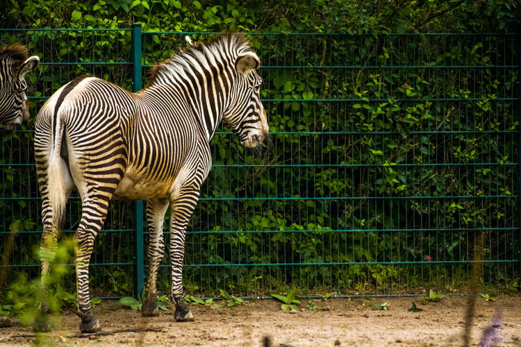 Mammal Animal Animal Themes Striped Animals In The Wild Animal Wildlife One Animal Nature Zebra No People Vertebrate Plant Day Animals In Captivity Standing Domestic Animals Land Animal Markings Zoo Herbivorous Outdoors