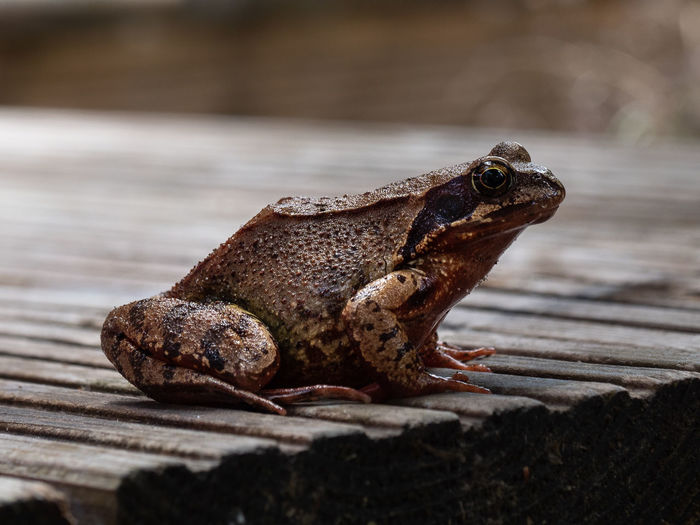 Close-Up Of Frog On Wood