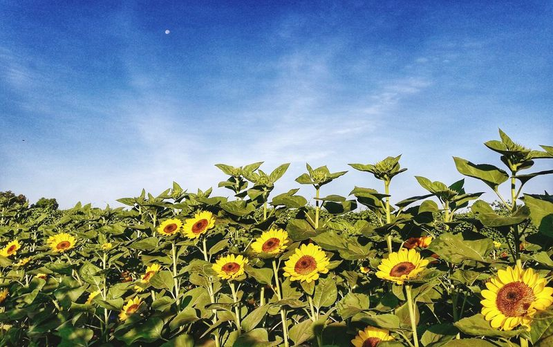 Sunflowers and the Moon Vacation EyEmNewHere Travel Travel Photography EyeEm Nature Lover Yellow Flower PhonePhotography Nature Flower Flower Head Blue Tree Sky Close-up Plant Plant Life In Bloom Blooming Sunflower