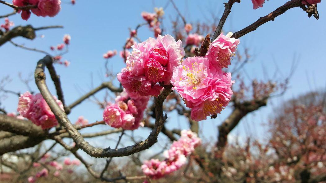 Millennial Pink Sakura 2017 Springtime Blossom Beauty Beauty In Nature Charm