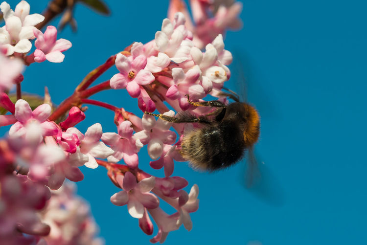 Close-up of a bumblebee on pink cherry blossom