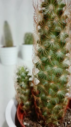Cactus Thorn Growth Nature Plant Danger Spiked RISK Focus On Foreground Beauty In Nature Close-up No People Wilderness Area
