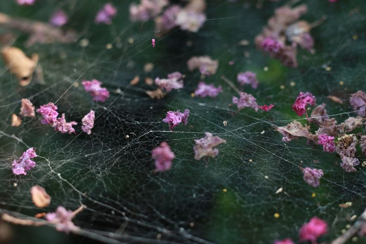 Dried Pink Flowers On Spider Web