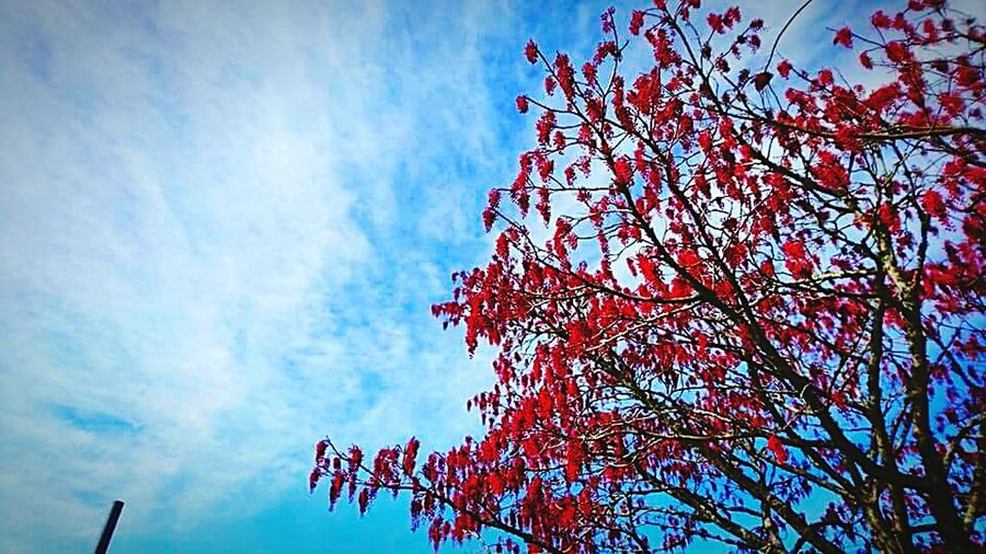 Tree Red Sky Nature Low Angle View Beauty In Nature Cloud - Sky Growth Outdoors Treetop Close-up Day Auckland New Zealand Beauty