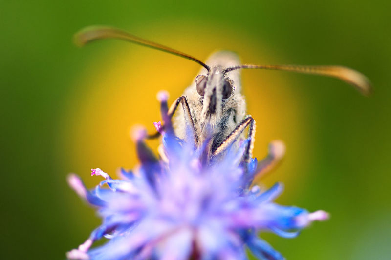 Close-up of butterfly pollinating on purple flower in spring