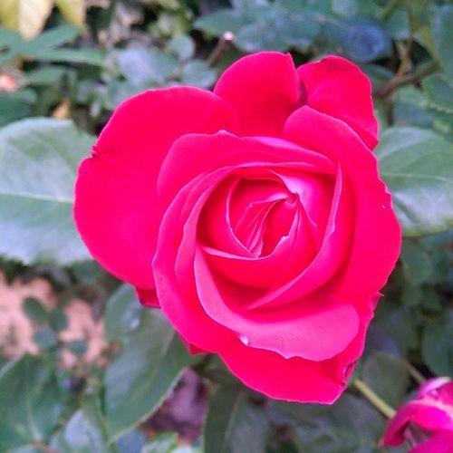 Tollen Rosen im Garten. Fotografiert mit dem HTC One M8 ohne Filter. Nofilter Withoutfilter Ohnefilter Htconem8 HTC One M8 OneM8