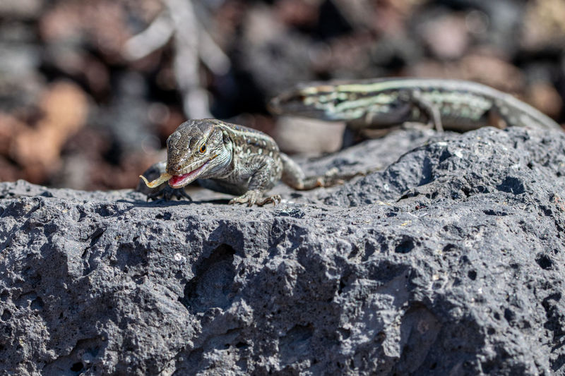 La palma wall lizards, gallotia galloti palmae, eating discarded banana on volcanic rock.