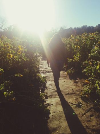 Pumpkinpatch Pumpkinpicking Sunflowers