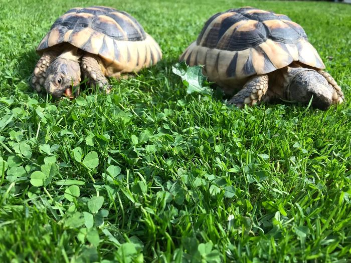 Two tortoises feeding. Selective Focus Ground Level View Freshness Mouth Open Togetherness Animal Leg Pets Feeding  Looking At Camera Animal Tongue Animal Head  Sunshine Tongue Out Two Animals Animal Themes Animal Animal Wildlife Animals In The Wild Grass Reptile Green Color Plant Tortoise Nature Land Animal Shell Shell No People Day Outdoors