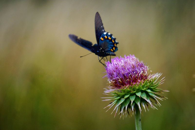 Close-up of butterfly pollinating on thistle