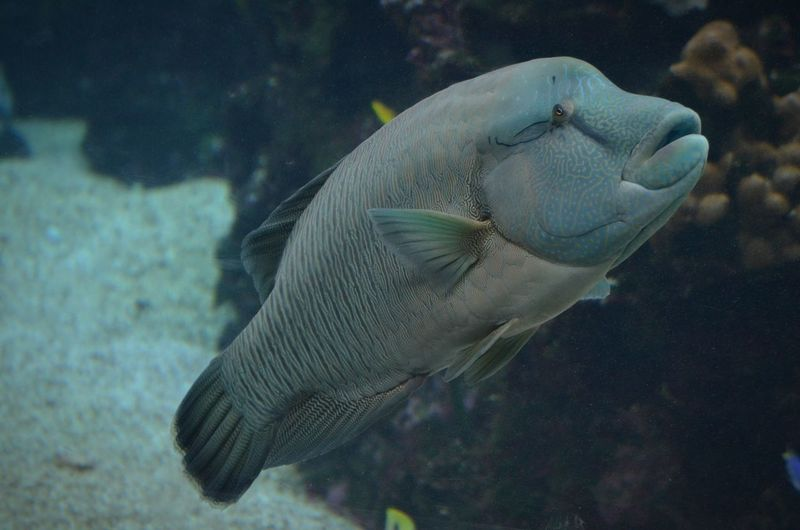 Fish Southsea New Caledonia Underwater Napoleon Fish Nature Diving Green Color Saltwaterfish Saltwater