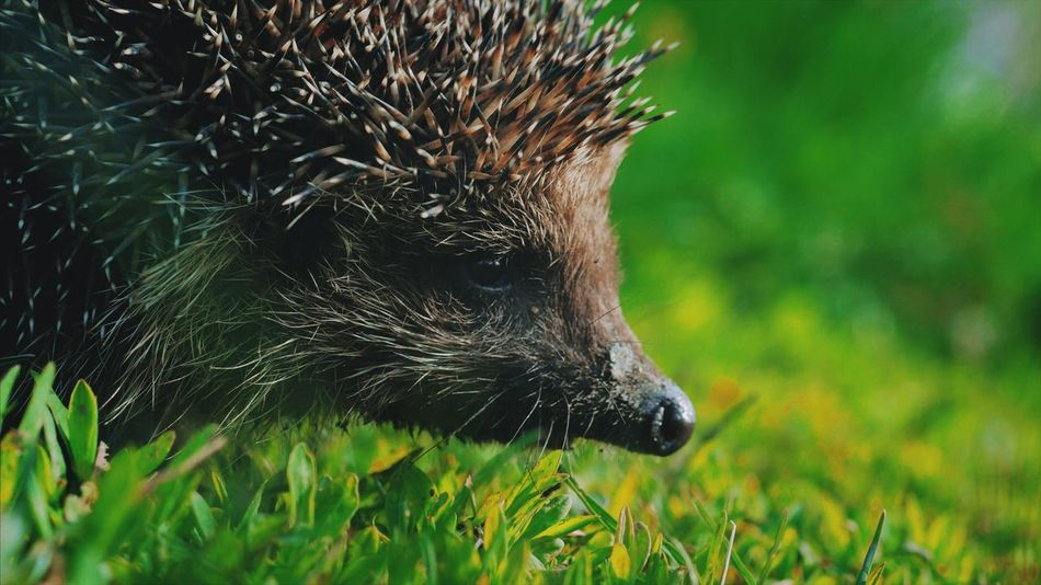 One Animal Grass Animal Themes Nature Animals In The Wild No People Outdoors Day Animal Wildlife Mammal Close-up Bird Hedgehog Meadow Forest Pet Needle Predator