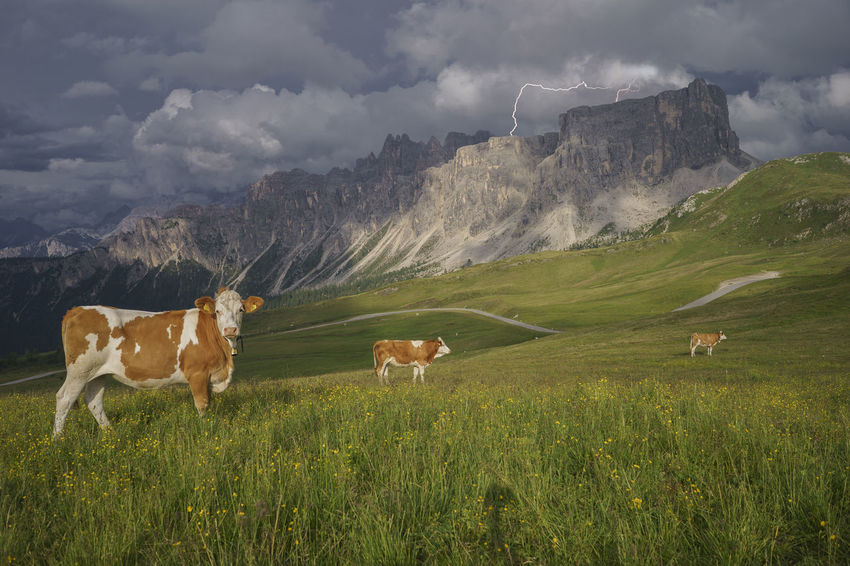 Colle Santa Lucia Dolomites Farm Animals Storm Alps Bovine Cattle Clouds Cow Day Field Grass Italy Landscape Mammal Mountain Mountain Range Nature No People Outdoors San Vito Di Cadore Scenics Sky Thunder Passo Giau