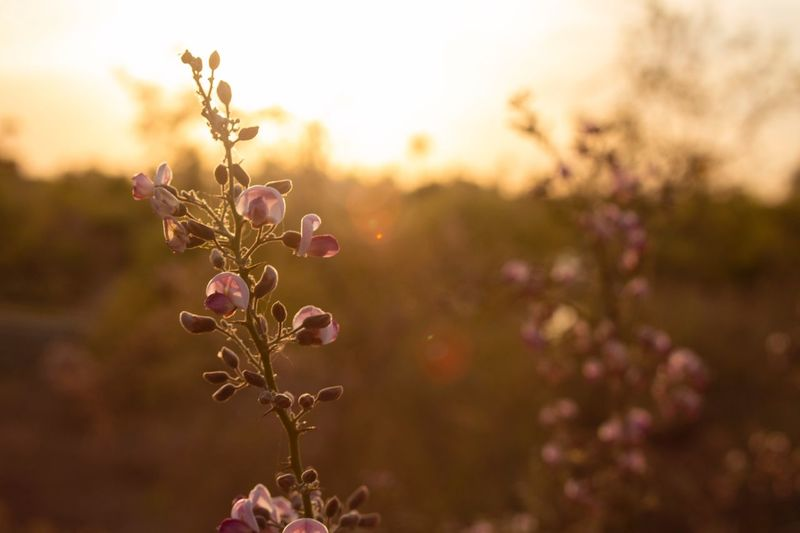 Spring in Arizona Bokeh Plant Flower Flowering Plant Beauty In Nature Growth Freshness Focus On Foreground Close-up Fragility Vulnerability  Pink Color Nature No People Petal Flower Head Purple Outdoors Sky Sunset Tranquility Summer Exploratorium Summer Exploratorium Visual Creativity