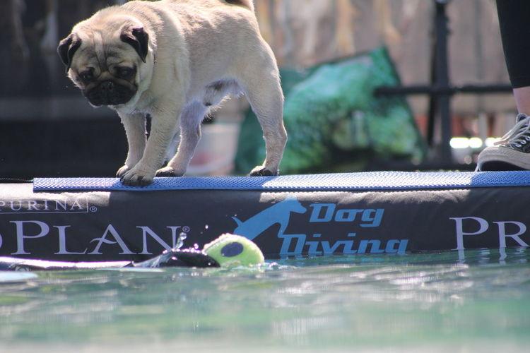 Dog Diving EyeEm Selects Water Dog Pets