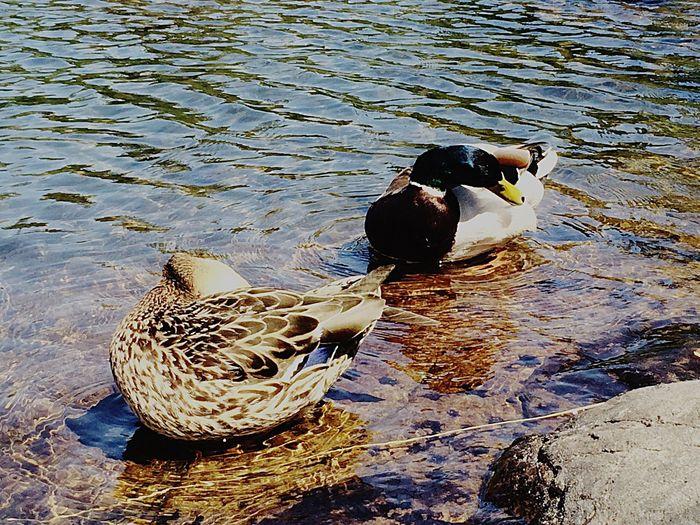 Mallard Mallard Duck Nature