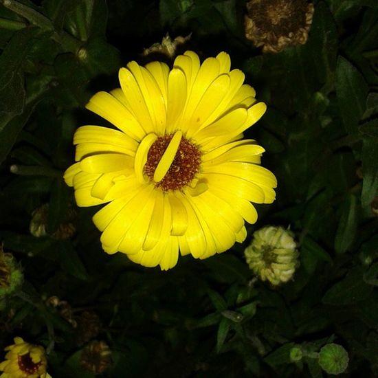 Evening Flower Yellow Colour Season  Of Colour 300 Post Instaspecialupdate Instacapture Instafestive Festivegram Flowergram Instaevening Photo_For_Like_Comment_Share Instafollowme .