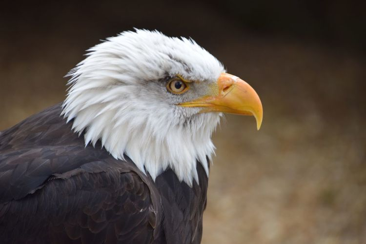 Bird Animal Body Part Beak Bald Eagle Bird Of Prey Animal Head  White Color Animal Themes Feather  Eagle - Bird