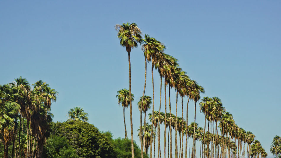 Beauty In Nature Blue Clear Sky Day Flower Green Color Growth Low Angle View Nature No People Outdoors Palm Tree Plant Sky Tree Been There.