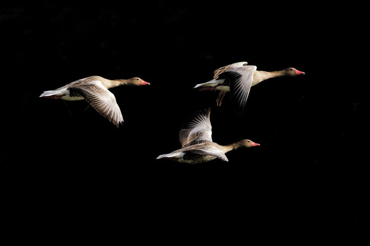 Geese flying against black background