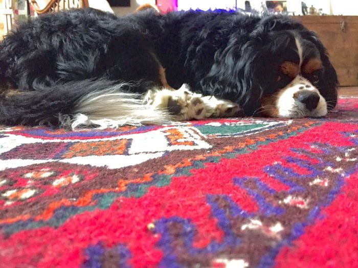 Hello World Billy My Lovely Dog This Is My Sweetie Cavalier King Charles Spaniel Eyem Dogs Pic Funny Dogs And Carpet My Lovely Dog