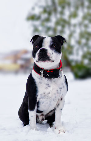 Staffordshire Bull Terrier Staffordshire Staffy Mammal Animal Themes No People Sitting Outdoors