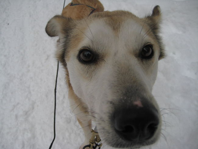 Dog Sled Dog Sledding Winter Animal Themes Canada Dog Dog Nose Domestic Animals No People One Animal Pets Portrait Snow