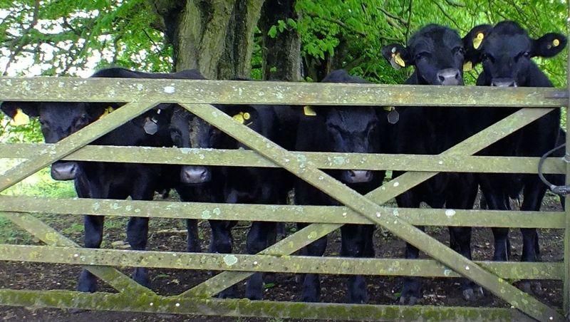 Cows go moo.... Hello World Curious Cows Down On The Farm