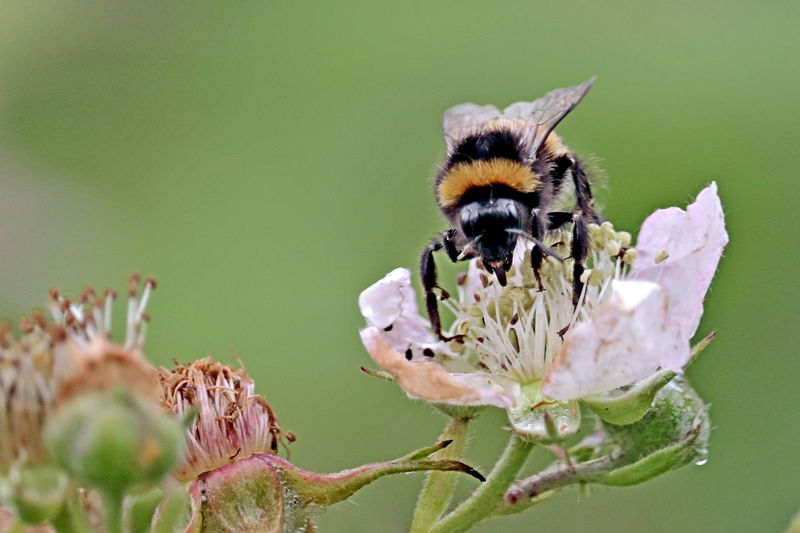 Bumble bees, Bombus terrestris, on dandelion flower; an insect that can sting. Makes colonial nest, also Buff-tailed bumblebee, humble-bee Bumble Bee Blackberry Flower Blackberry Bombus Insect Animals In The Wild Beauty In Nature Flowering Plant Bee Fragility Pollination Bumblebee
