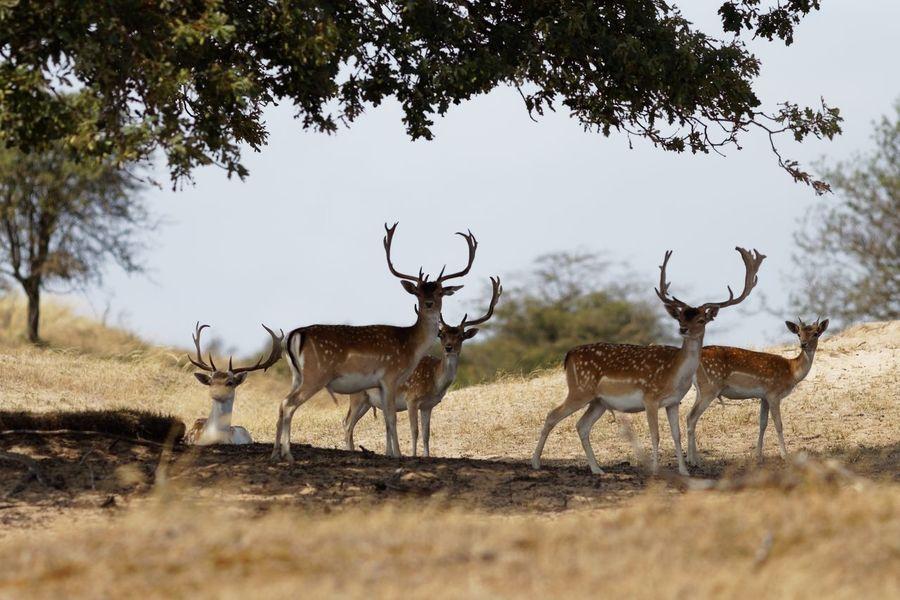 In The Shade Fallow Deer Buck Dunes Of Holland Animal Themes Animal Wildlife Animal Mammal Plant Group Of Animals Deer Animals In The Wild