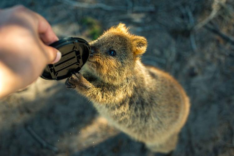 Quokka Nikon Sigma50mm1.4Art Wildlife & Nature Animals Bokeh Cute Friendly Lensecap Quokka Wildlife
