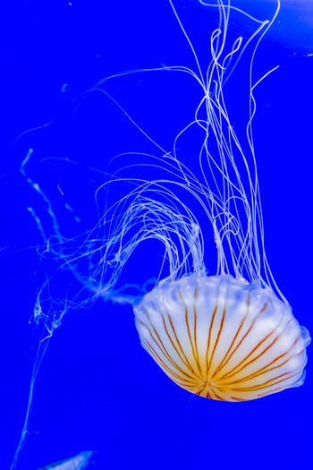 Beautiful jellyfish floating in aquarium water Aqua Aquatic Beauty In Nature Blue Close-up Dance Fish Fragility Jelly Jellyfish Life Me Nature Ocean Photography Scenics Tranquility Transparent Underwater Vibrant Color Water Water Reflections