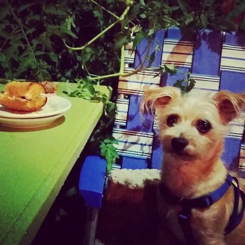 Out to dinner with his mamas Stanleymuffins Muffinsgalore Dogstagram Dogsofinstagram lovemydog lovemymutt lovelovelove chichon chihuahuamix bichonmix dogs