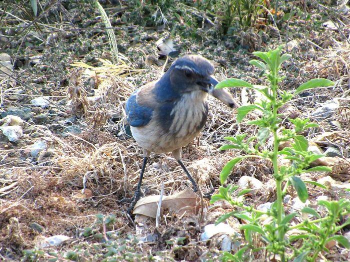 Scrubjay CA Getting Food Bird Watching Avian Bird Wildlife Birds🐦⛅ Single Bird One Bird Bird Photography