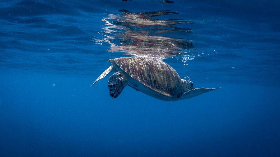Swimming green sea turtle at pagkilatan