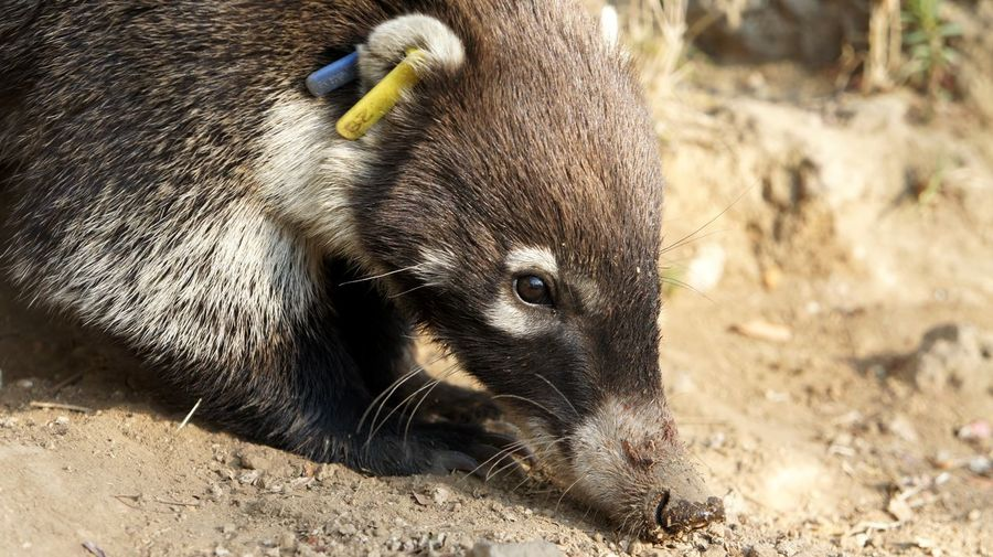 One Animal Animal Wildlife Animals In The Wild Animal Themes Mammal Sunlight Nature Outdoors Close-up Textured Effect Broun Animal Head  Cuernavaca Cute Coati Vacations Nature Outside Beauty In Nature Danger Animal Photography Animal Hair Animal Nose Cute