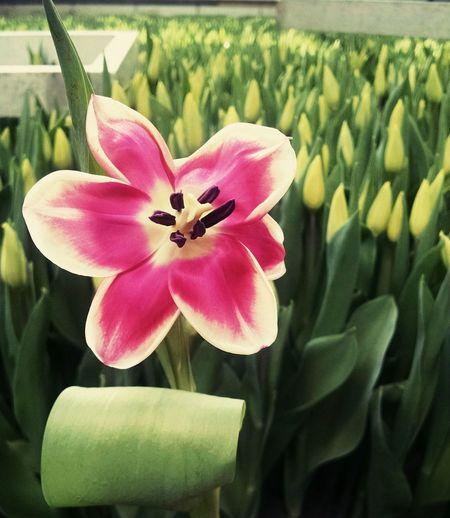Tulipa Color Colors Colorful Tulip Greenhouse Yellow Color Yellow Flower Yellow Tulips Egmond-Binnen, The Netherlands Travel Photography Travel Travel Destinations Tulips Beauty In Nature Flower Photography Tulip Field Tulip Farm Flower Head Flower Petal Plant Blooming Tulip Plastic Environment - LIMEX IMAGINE The Still Life Photographer - 2018 EyeEm Awards The Traveler - 2018 EyeEm Awards The Creative - 2018 EyeEm Awards The Street Photographer - 2018 EyeEm Awards The Photojournalist - 2018 EyeEm Awards