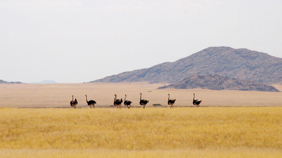 """Friends"" Africa Animal Wildlife Animals In The Wild Birds Birds Of EyeEm  EyeEm Best Shots EyeEm Vision Landscape Landscape Photography Landscape_Collection Namibia Namibia Landscape Ostrich Outdoors The EyeEm Collection"