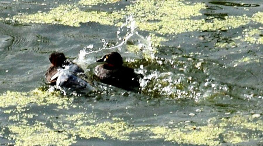 Water Splash! Birds In The Water