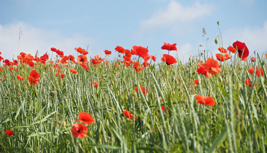 Red poppy flowers blooming in field